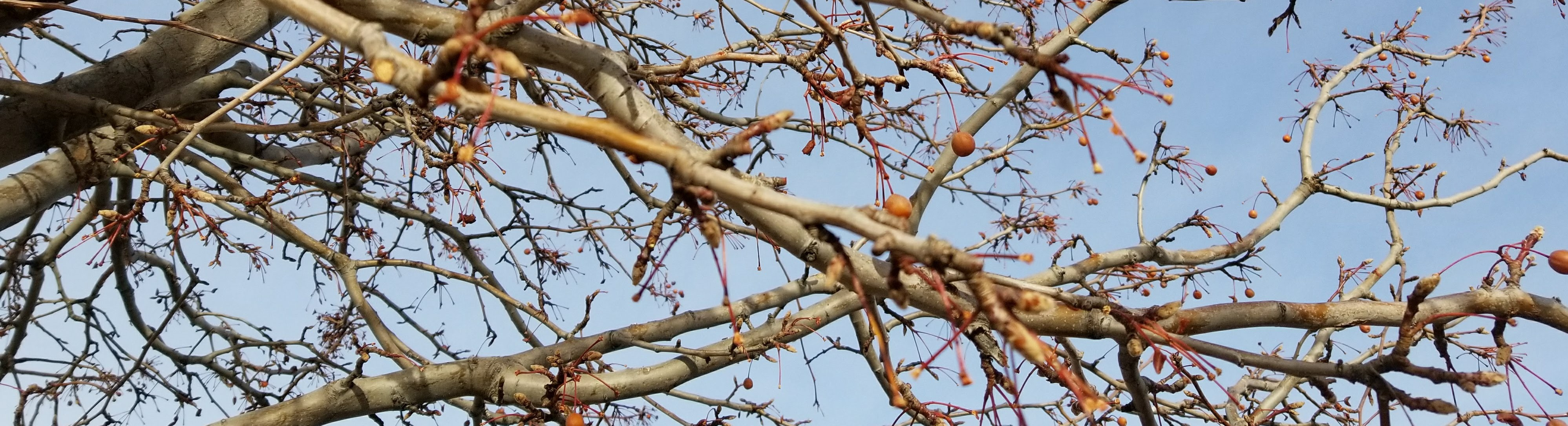 Bare tree branches beginning to bud in the spring